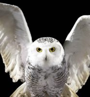 """Headwig"" a snowy owl https://hemator.files.wordpress.com/2011/12/hedwig.jpg"